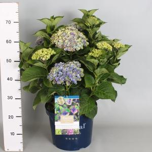Hydrangea Macrophylla Magical Coral Blue® boerenhortensia - 40-50 cm - 1 stuks