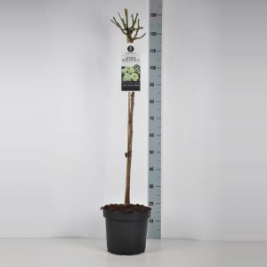 Trosroos op stam 90 cm (rosa Lemon Romantica®)