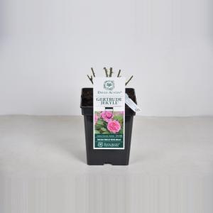 Engelse roos (rosa Gertrude Jekyll®) - C5 - 1 stuks