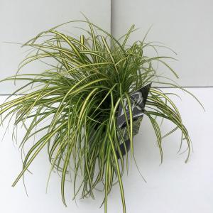 Zegge (Carex oshimensis Eversheen) siergras