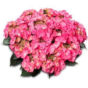 Hydrangea Macrophylla Classic® Tiffany Pink® schermhortensia