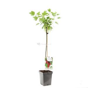 Rode bes op stam (ribes rubrum Jonkheer van Tets) fruitbomen - Op Stam 80 - 1 stuks