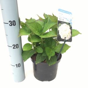 Hydrangea Macrophylla Soeur Thérese boerenhortensia
