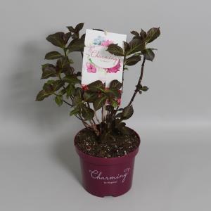 Hydrangea Macrophylla Charming® Alice Pink® boerenhortensia - 25-30 cm - 1 stuks