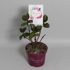 Hydrangea Macrophylla Charming® Claire Blue® boerenhortensia - 25-30 cm - 1 stuks