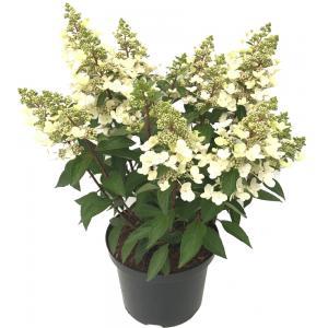Hydrangea Paniculata Magical Vesuvio® pluimhortensia