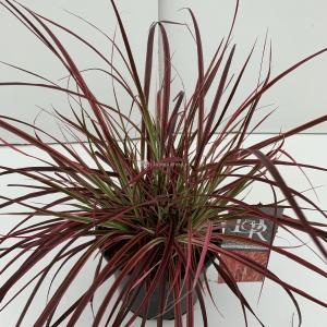 Lampenpoetsersgras (Pennisetum setaceum Fireworks) siergras - In 3 liter pot - 1 stuks