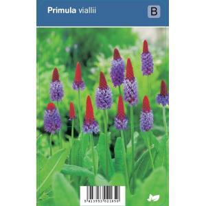 Orchideeprimula (primula vialii) schaduwplant - 12 stuks
