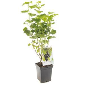 Jostabes (ribes nigrum Jostabes) fruitplanten - In 5 liter pot - 1 stuks