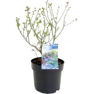 "Bosbes (vaccinium corymbosum ""Patio"") fruitplanten - 9 stuks"