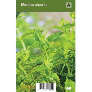 Pepermunt (mentha piperita) kruiden - 12 stuks