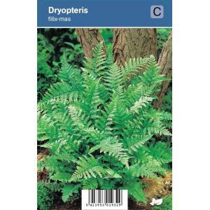 Mannetjesvaren (dryopteris filix-mas) schaduwplant - 12 stuks