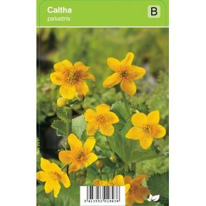 Dotterbloem (caltha palustris) voorjaarsbloeier - 12 stuks
