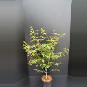 Japanse esdoorn (Acer palmatum Osakasuki) heester - 60-80 cm - 8 stuks