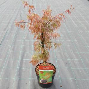 Japanse esdoorn (Acer palmatum Crimson Queen) heester - 40-50 cm - 1 stuks