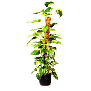Plantenstok kokos - 38 x 38 x 60 cm