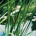 Kalmoes (Acorus calamus) moerasplant