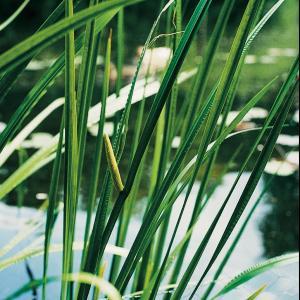 Kalmoes (Acorus calamus) moerasplant - 6 stuks