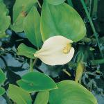 Slangenwortel (Calla palustris) moerasplant