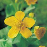 Dotterbloem (Caltha palustris) moerasplant