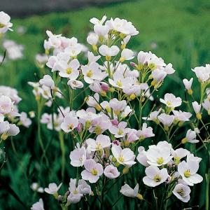 Pinksterbloem (Cardamine pratensis) moerasplant - 6 stuks