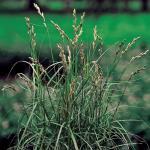 Palmzegge (Carex Muskingunemsis) moerasplant