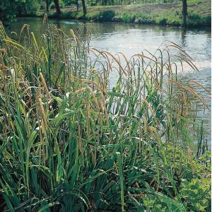 Hangende zegge (Carex pendula) moerasplant - 6 stuks