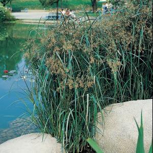 Lang cypergras (Cyperus longus) moerasplant - 6 stuks