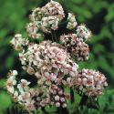 Schildblad (Darmera peltata) moerasplant