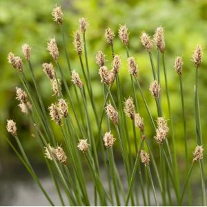 Gewone waterbies (Eleocharis palustris) moerasplant - 6 stuks