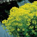 Moeraswolfsmelk (Euphorbia palustris) moerasplant