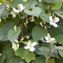Moerasanemoon (Houttuynia cordata) moerasplant