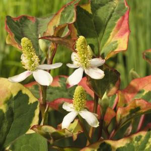 "Bonte moerasanemoon (Houttuynia cordata ""Chameleon"") moerasplant - 6 stuks"