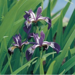 Amerikaanse iris (Iris versicolor) moerasplant - 6 stuks