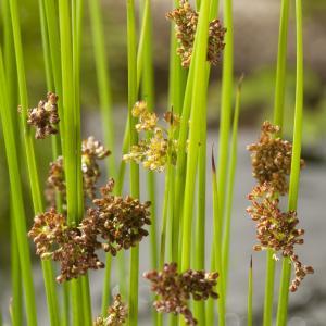Pitrus (Juncus effusus) moerasplant - 6 stuks