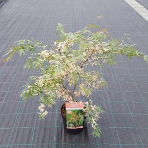 Japanse esdoorn (Acer palmatum Beni-Shichi-Henge) heester