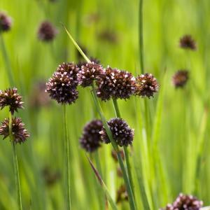 Zwaardrus (Juncus ensifolius) moerasplant - 6 stuks