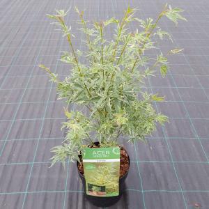 Japanse esdoorn (Acer palmatum Butterfly) heester - 50-60 cm - 1 stuks