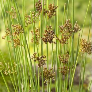 Zeegroene Rus (Juncus inflexus) moerasplant - 6 stuks