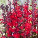 Rode lobelia (Lobelia cardinalis) moerasplant