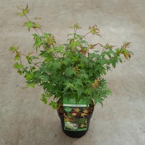 Japanse esdoorn (Acer palmatum Little Princess) heester - 40-50 cm - 1 stuks