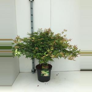 Japanse esdoorn (Acer palmatum Little Princess) heester - 60+ cm - 5 stuks