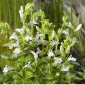 "Witte Virginische lobelia (Lobelia siphilitica ""Alba"") moerasplant"