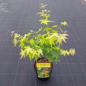 Japanse esdoorn (Acer palmatum Orange Dream) heester - 50-60 cm - 1 stuks