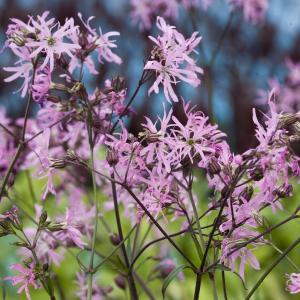Echte koekoeksbloem (Silene flos-cuculi) moerasplant - 6 stuks