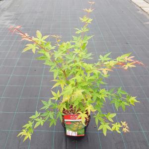 Japanse esdoorn (Acer palmatum Sangokaku) heester - 50-60 cm - 1 stuks