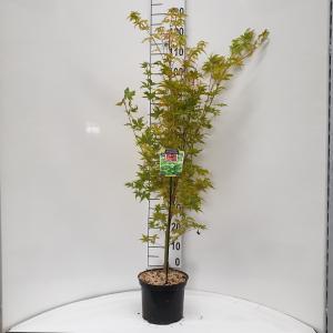 Japanse esdoorn (Acer palmatum Sangokaku) heester - 60-80 cm - 8 stuks