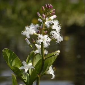 Waterdrieblad (Menyanthes Trifoliata) moerasplant - 6 stuks