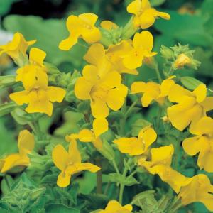 Gele maskerbloem (Mimulus luteus) moerasplant - 6 stuks