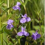 Blauwe maskerbloem (Mimulus ringens) moerasplant
